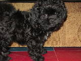Собаки, щенята Кольорова болонка, ціна 2000 Грн., Фото