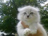 Кошки, котята Сибирская, цена 1 Грн., Фото