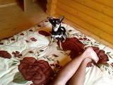 Собаки, щенки Карликовый пинчер, цена 800 Грн., Фото