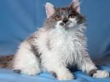 Кошки, котята Селкирк-рекс, цена 3200 Грн., Фото