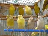 Папуги й птахи Канарки, ціна 90 Грн., Фото