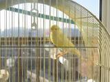 Попугаи и птицы Канарейки, цена 90 Грн., Фото