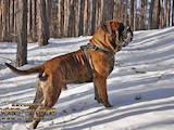 Собаки, щенята Бульмастиф, ціна 4500 Грн., Фото