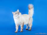 Кошки, котята Невская маскарадная, цена 1800 Грн., Фото
