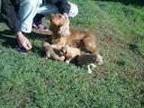 Собаки, щенки Английский спрингер спаниель, цена 1000 Грн., Фото