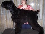 Собаки, щенята Чорний тер'єр, ціна 5000 Грн., Фото