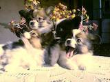 Собаки, щенки Папильон, цена 7000 Грн., Фото