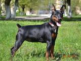 Собаки, щенята Карликовий пінчер, ціна 3500 Грн., Фото