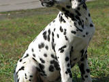Собаки, щенки Далматин, цена 1900 Грн., Фото