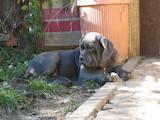 Собаки, щенки Мастино неаполетано, цена 5000 Грн., Фото