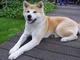 Собаки, щенки Акита-ину, Фото