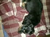 Собаки, щенки Длинношерстная такса, цена 500 Грн., Фото