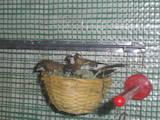 Папуги й птахи Канарки, ціна 40 Грн., Фото