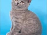 Кішки, кошенята Шотландська короткошерста, ціна 1300 Грн., Фото