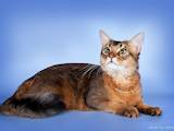 Кішки, кошенята Сомалі, ціна 6394.40 Грн., Фото