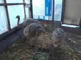 Тварини Екзотичні тварини, ціна 2200 Грн., Фото
