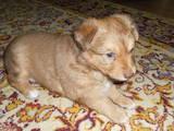 Собаки, щенки Карликовый пинчер, цена 500 Грн., Фото