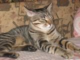 Кошки, котята Европейская короткошерстная, цена 20 Грн., Фото