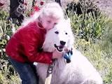 Собаки, щенята Біла Швейцарська вівчарка, ціна 3999 Грн., Фото