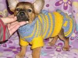 Собаки, щенята Пінчер, ціна 700 Грн., Фото