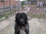 Собаки, щенята Кавказька вівчарка, ціна 800 Грн., Фото