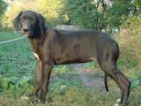 Собаки, щенки Немецкий дог, цена 3000 Грн., Фото