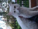 Кішки, кошенята Балінез, Фото
