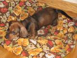 Собаки, щенята Гладкошерста мініатюрна такса, ціна 750 Грн., Фото