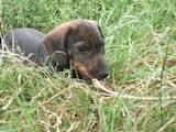 Собаки, щенята Жорсткошерста такса, ціна 600 Грн., Фото