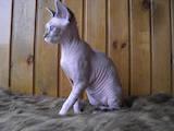 Кішки, кошенята Девон-рекс, ціна 10 Грн., Фото
