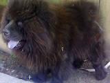 Собаки, щенки Чау-чау, цена 1600 Грн., Фото