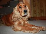 Собаки, щенята Американський коккер, ціна 700 Грн., Фото