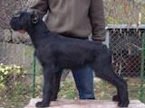 Собаки, щенята Різеншнауцер, ціна 3200 Грн., Фото