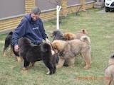 Собаки, щенки Тибетский мастиф, цена 35000 Грн., Фото