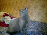 Кошки, котята Русская голубая, цена 12345 Грн., Фото