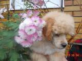 Собаки, щенята Той-пудель, ціна 1300 Грн., Фото