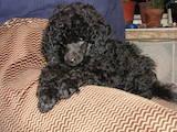 Собаки, щенки Той-пудель, цена 1200 Грн., Фото