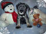 Собаки, щенята Міттельшнауцер, ціна 2000 Грн., Фото