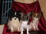 Собаки, щенки Папильон, цена 5000 Грн., Фото