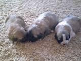 Собаки, щенята Кавказька вівчарка, ціна 1000 Грн., Фото