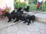 Собаки, щенята Різеншнауцер, ціна 1000 Грн., Фото