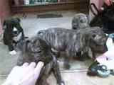 Собаки, щенки Стаффордширский бультерьер, цена 150 Грн., Фото