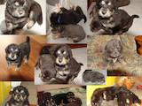 Собаки, щенки Тибетский мастиф, цена 15.18 Грн., Фото