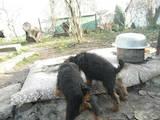 Собаки, щенки Вельштерьер, цена 3200 Грн., Фото