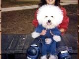 Собаки, щенята Бішон фрісе, ціна 4500 Грн., Фото