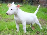Собаки, щенки Миниатюрный бультерьер, цена 8000 Грн., Фото