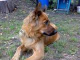 Собаки, щенки Бельгийская овчарка (Малинуа), цена 10 Грн., Фото