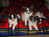 Собаки, щенята Папільон, ціна 2000 Грн., Фото