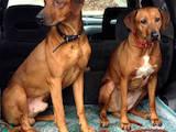 Собаки, щенята Родезійського ріджбек, ціна 8000 Грн., Фото