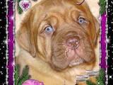 Собаки, щенята Бордоський дог, ціна 4000 Грн., Фото